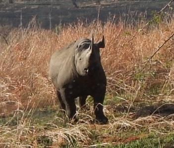 White Rhino and Black Rhino Information