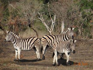 Safari Sighting of Zebra