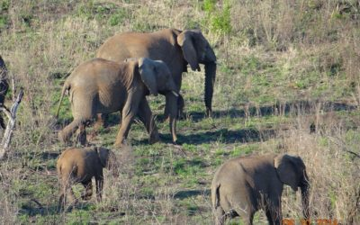 Virtual Safaris Elephants