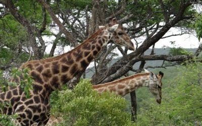 Hluhluwe Safari – day safari from Durban