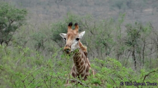 Durban-Safari-Tour-Giraffe