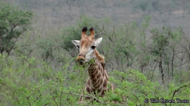 Durban-Safari-Tour-Giraffe