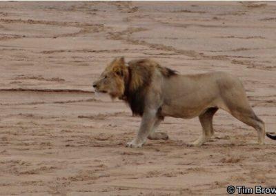 Lions hunting Buffalo