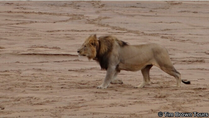Hluhluwe Game Reserve : Lions Hunting Buffalo