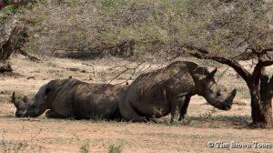Resting Rhino on Safari Tour
