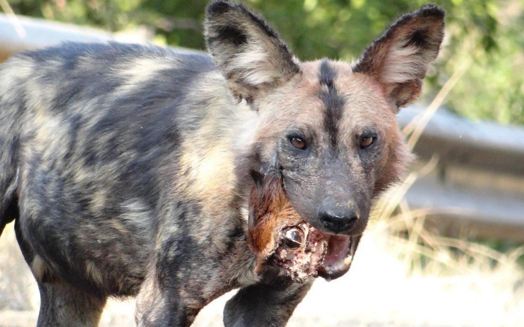 Wild Dog with Duiker Head