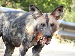 Wild dog with Duiker head in mouth