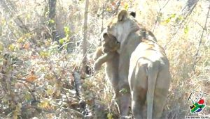 Lioness carries cub