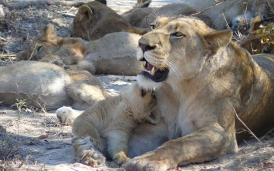 Lion Cubs on Durban Safari