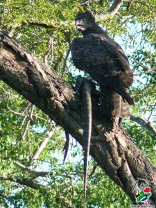 Crowned eagle with monitor lizard - birding