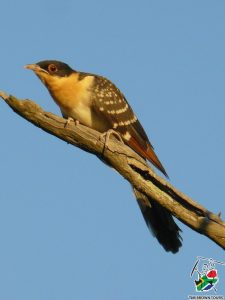 Great spotted cuckoo JUV