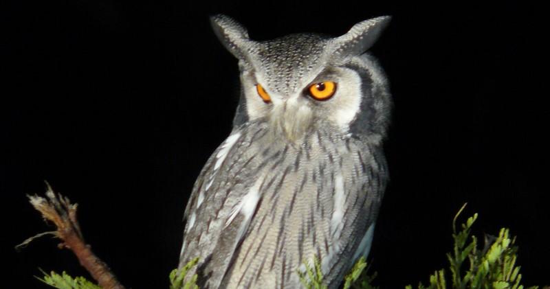 White Faced Owl Safari Birding