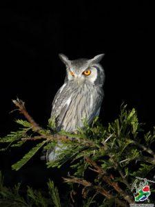 Owl - Safari Birding