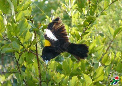 Widow Bird Durban Safari