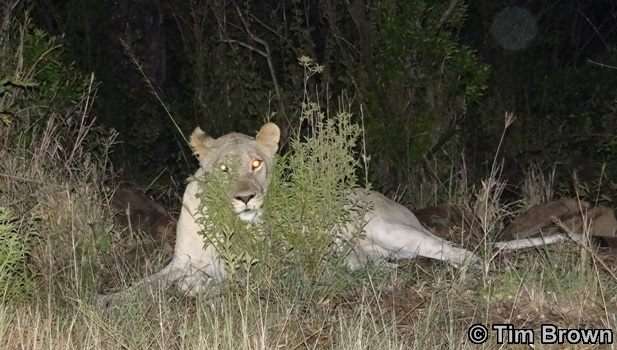 Lion eyes Lioness
