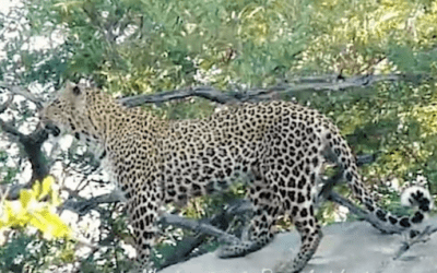 Covid-19 Virtual Safaris-Leopard Facts