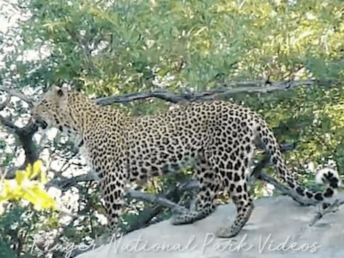 Covid-19 Virtual Safaris-Leopard Facts